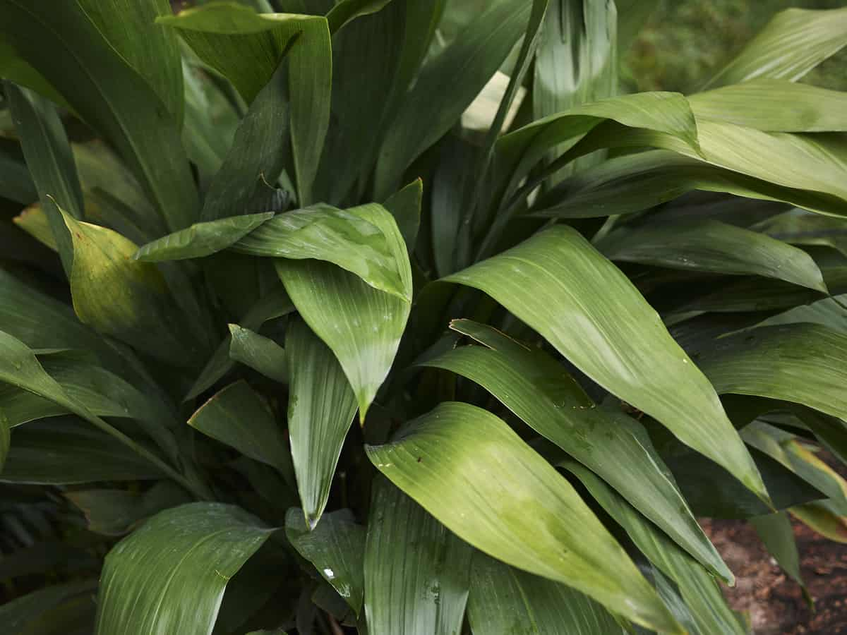 cast iron plant is a perennial favorite