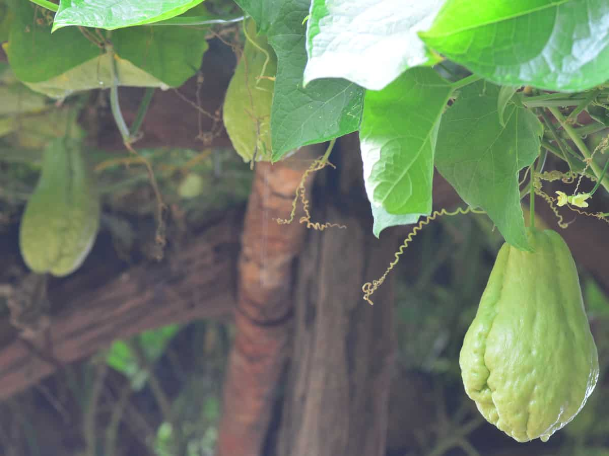 the chayote is a perennial vegetable that is in the squash family