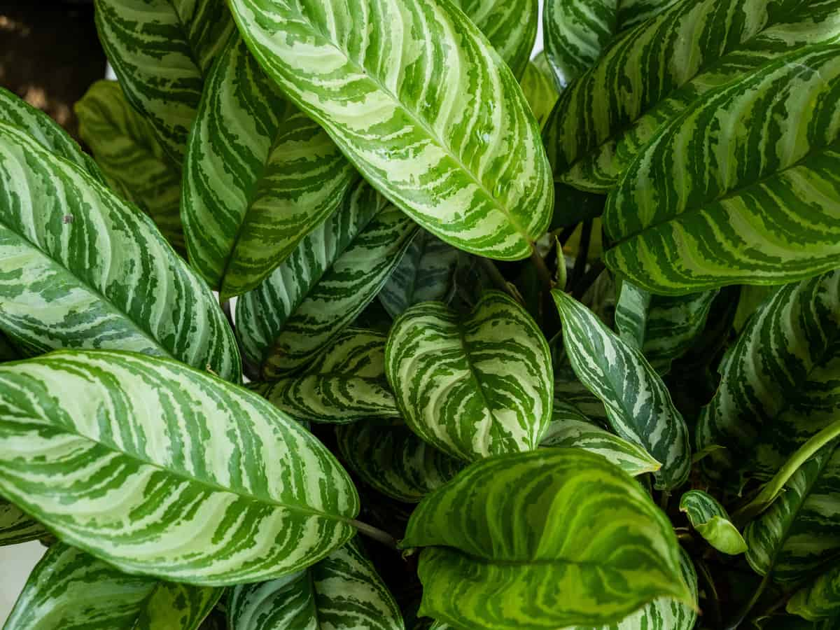 Chinese evergreen requires very little care