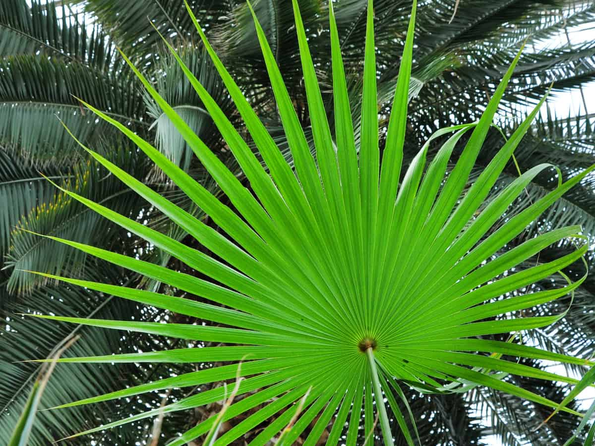 Chinese fan palm plant grows well indoors