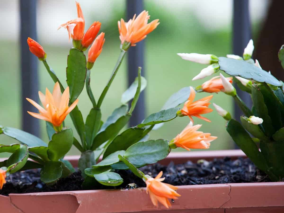 Christmas cactus is a hybrid indoor plant that is difficult to kill