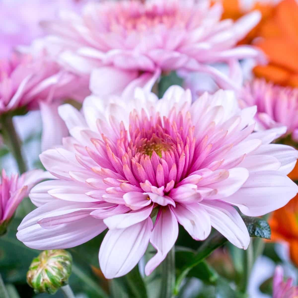 chrysanthemums come in a variety of beautiful colors