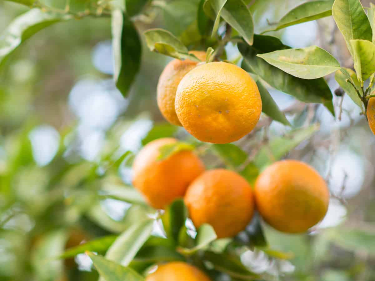 clementines are delicious fruits