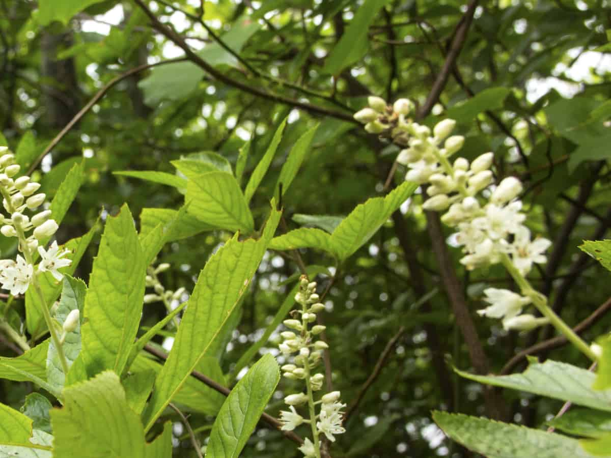clethra prefers acidic garden soil to thrive