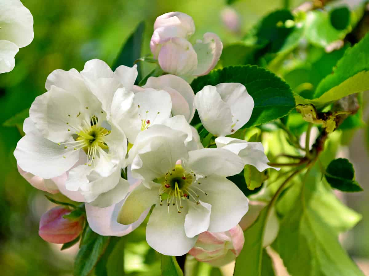 Cleveland flowering pear is just right for a small garden