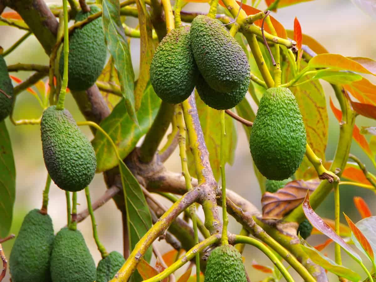 cold hardy avocado grows well on the patio