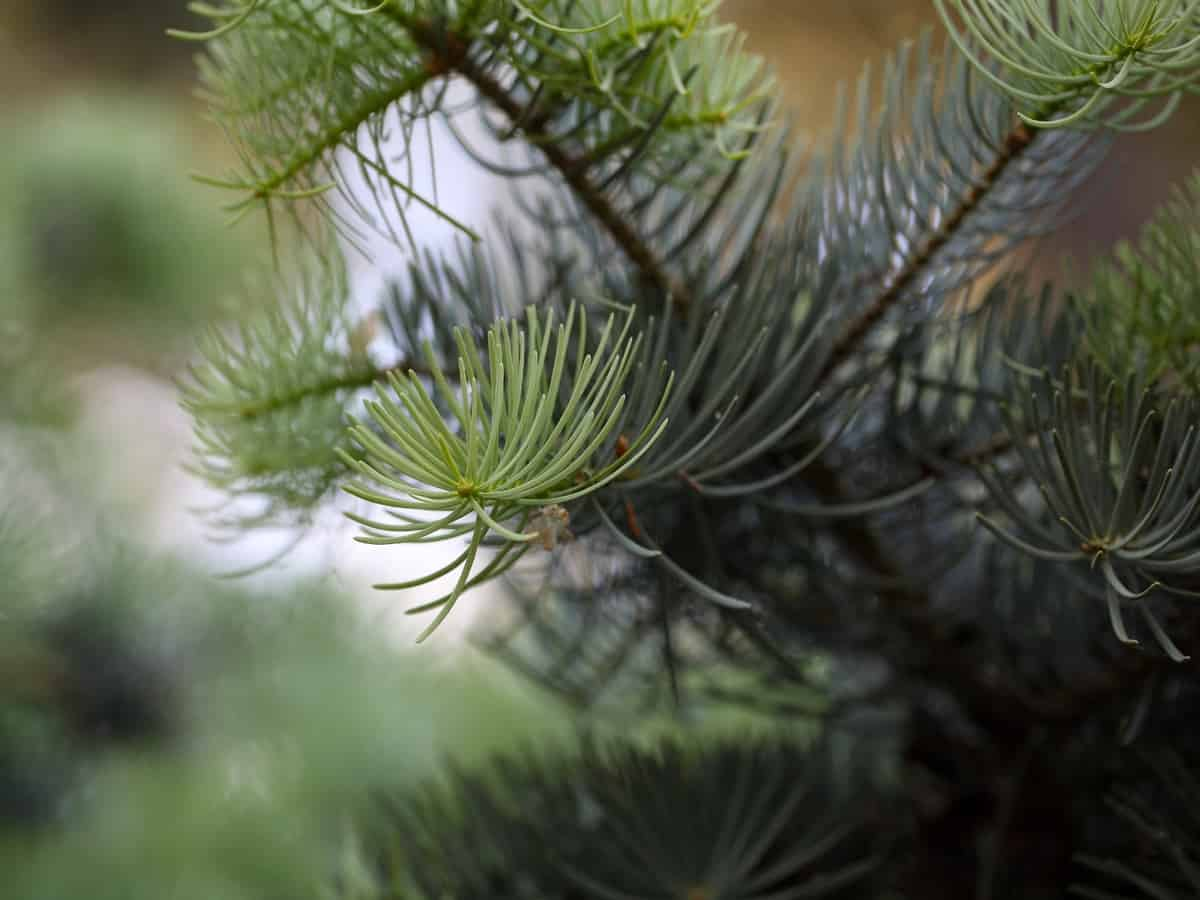 concolor fir does not thrive in urban settings