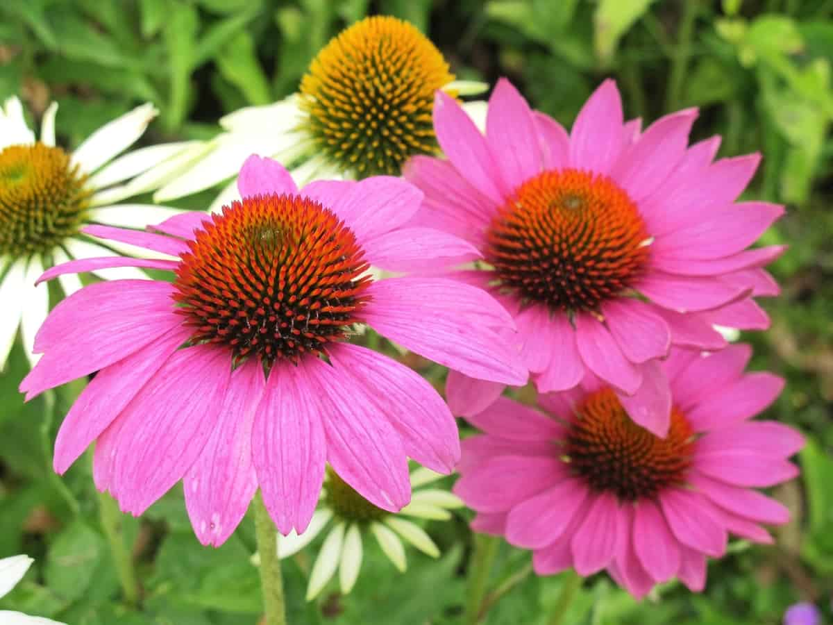 the coneflower or echinacea is easy to maintain once established