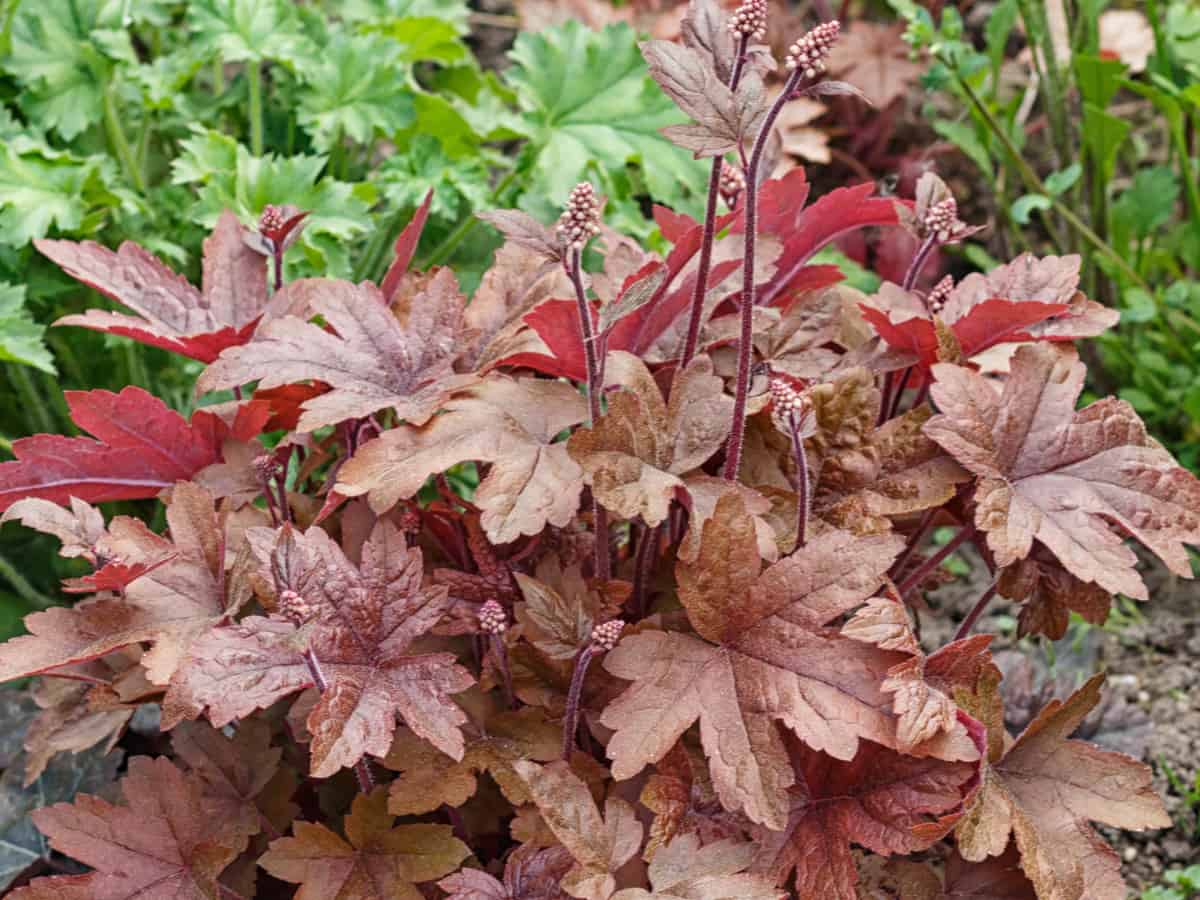 coral bells is also known as alumroot