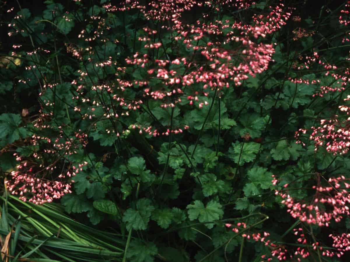 coral bells has showy leaves and flowers and prefers shade