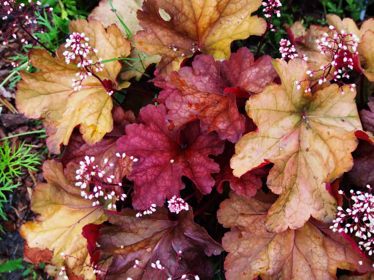 coral bells has leaves that are usually more attractive than the flowers