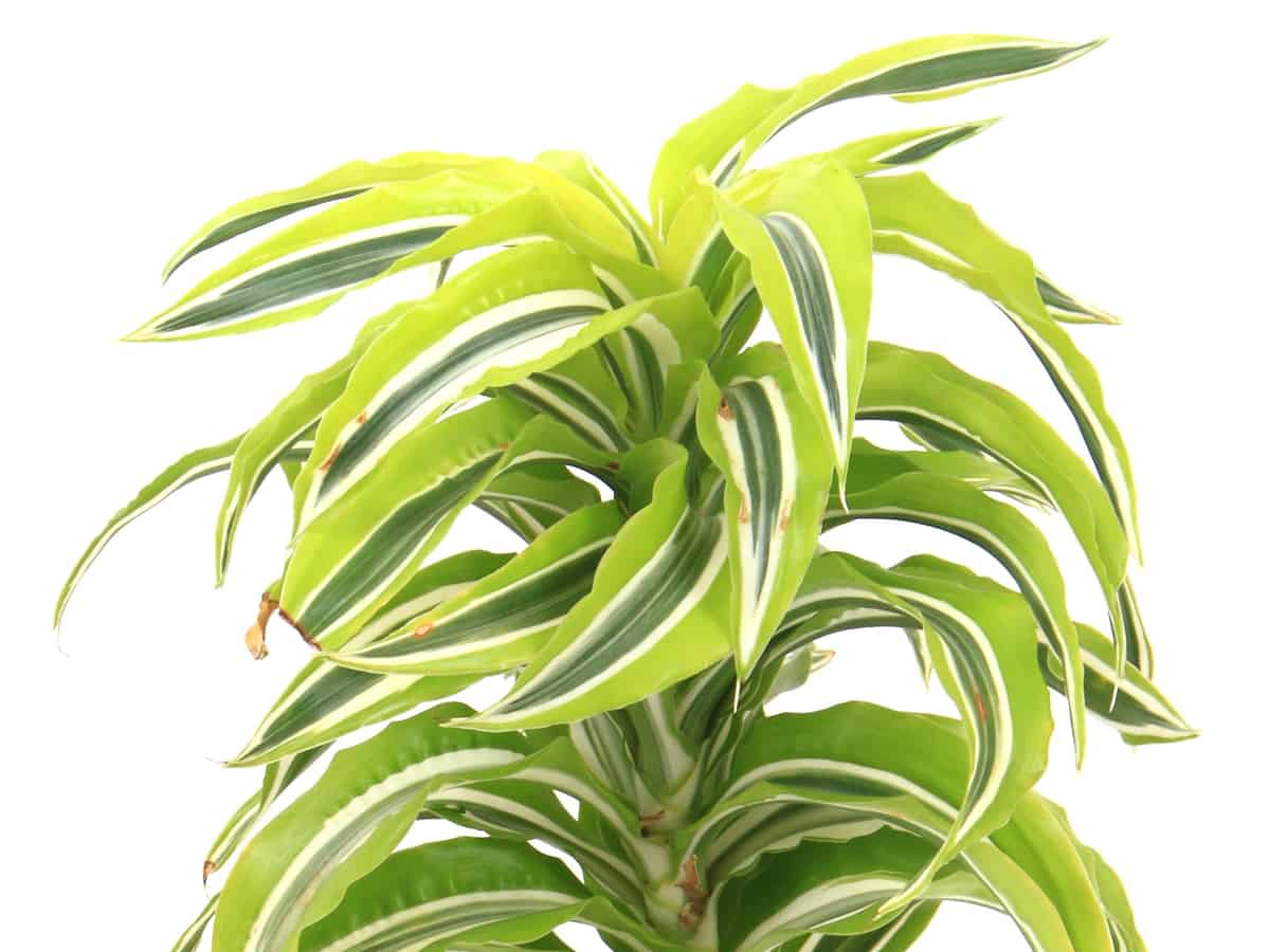 the corn plant is a popular indoor tree
