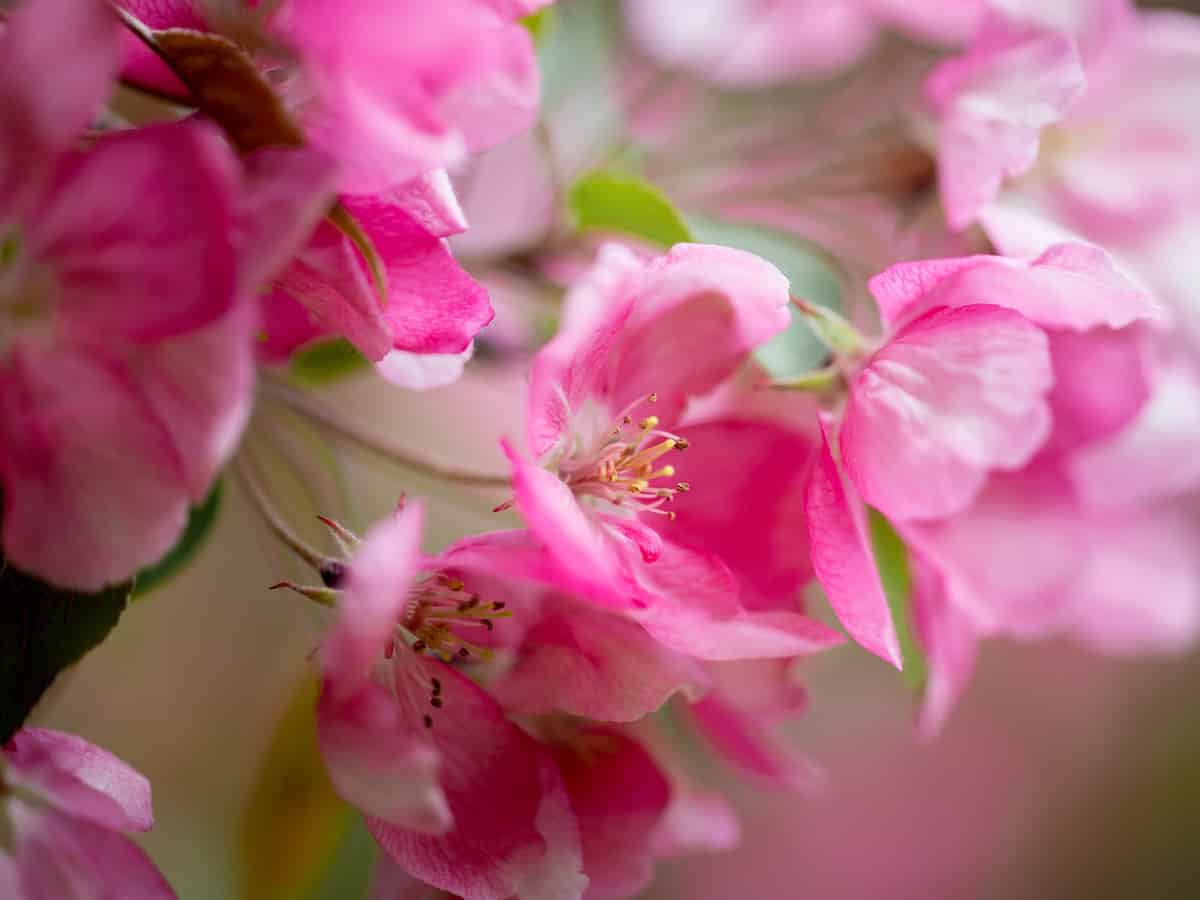 add crab apple trees to your garden