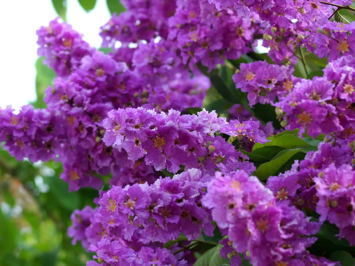 crape myrtle adds color to a beautiful garden