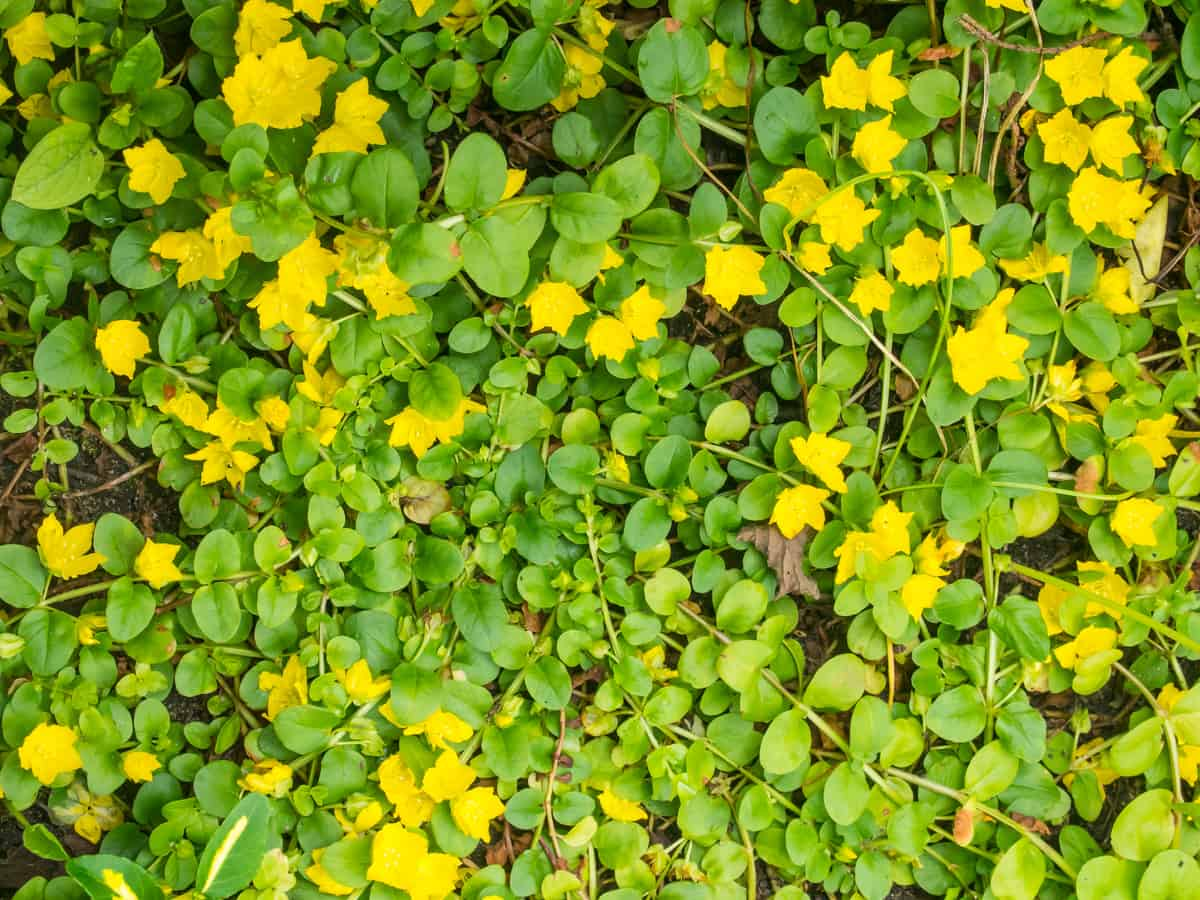 golden creeping Jenny is a shade-loving perennial that likes a good container
