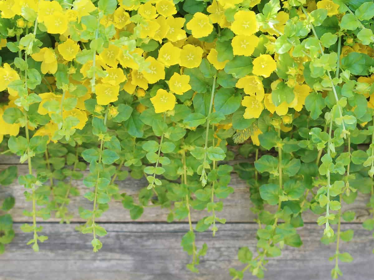 creeping Jenny is an easy to care for hanging shade plant