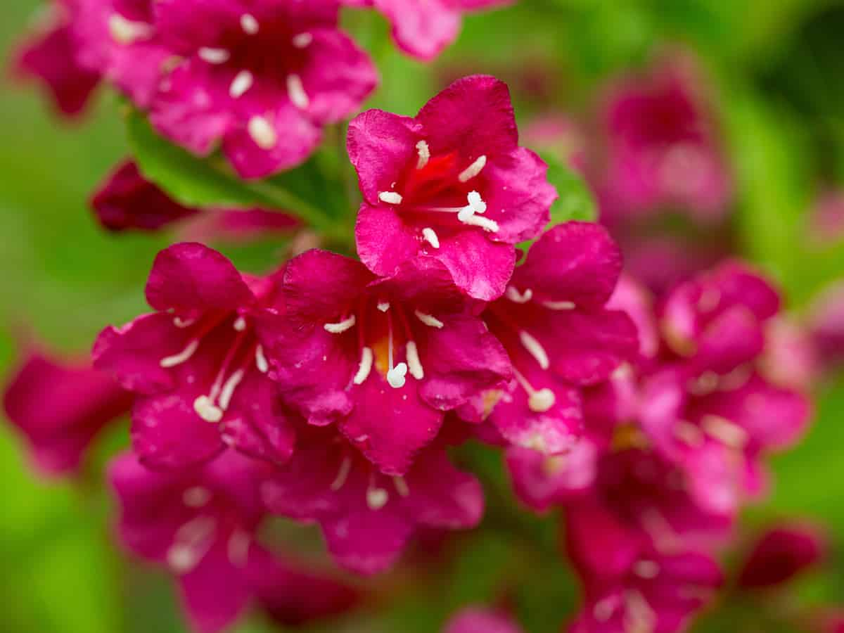 crimson kisses weigela is an attractive small flowering shrub