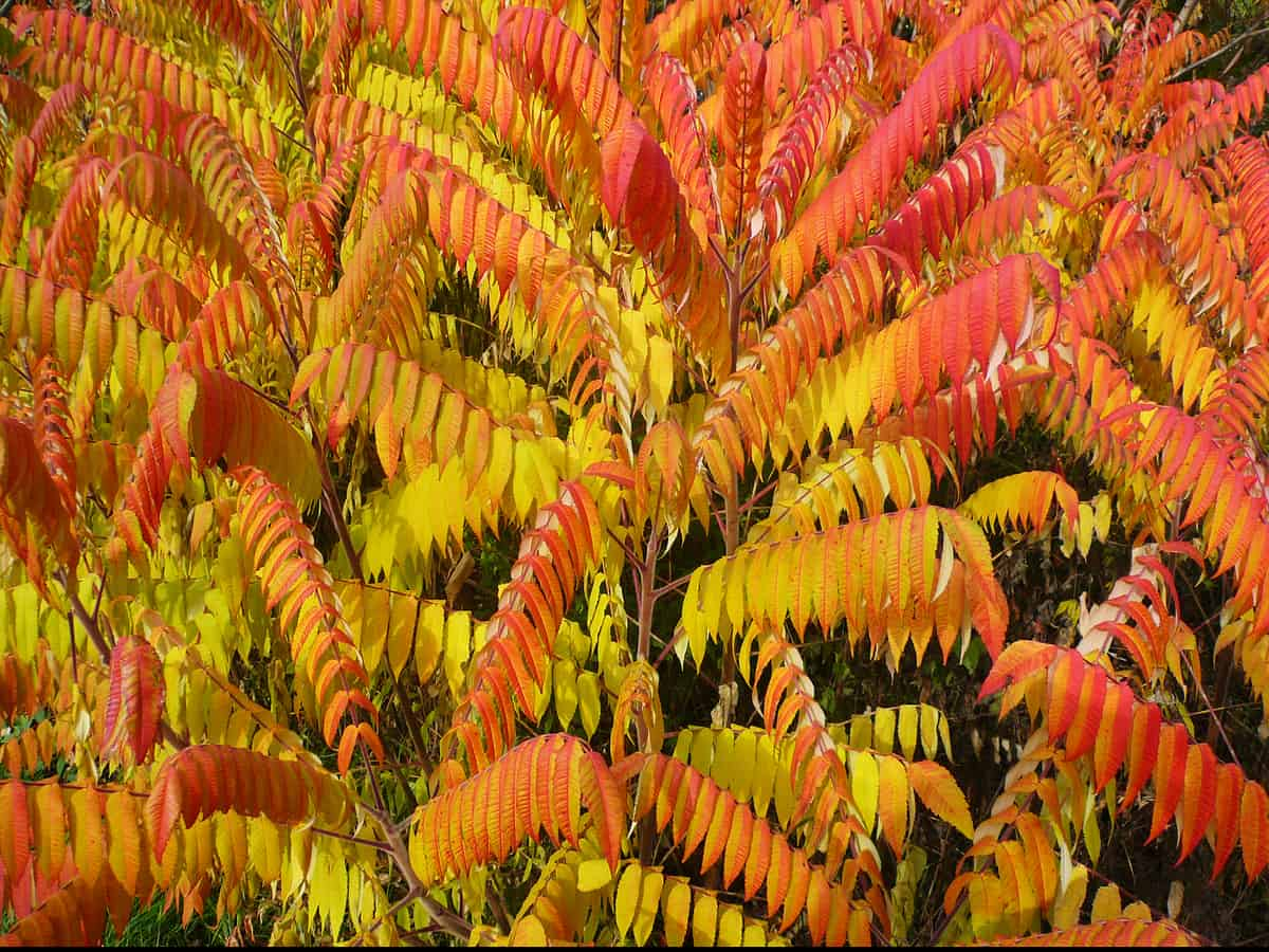 cut-leaf staghorn sumac is not poisonous like its cousin