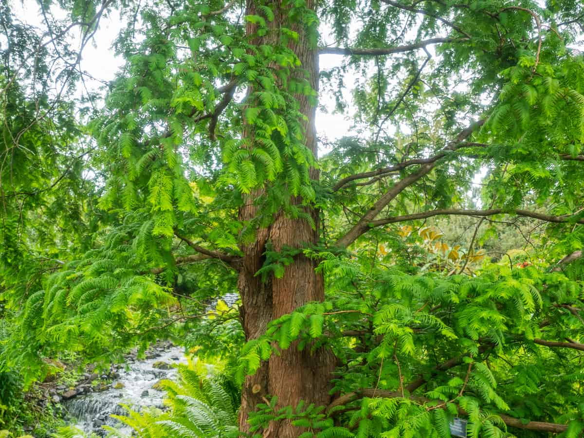 dawn redwood is an endangered shade tree