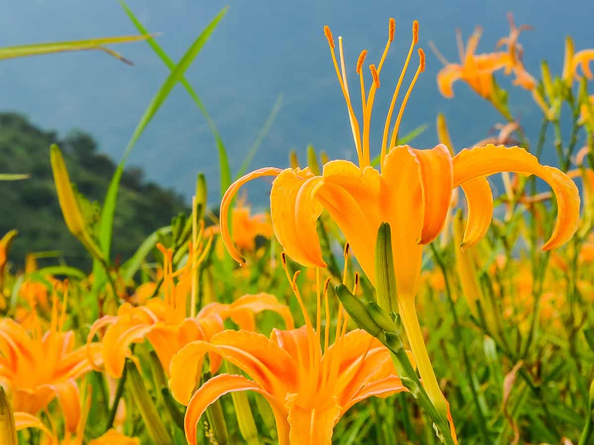 the daylily is a favorite perennial