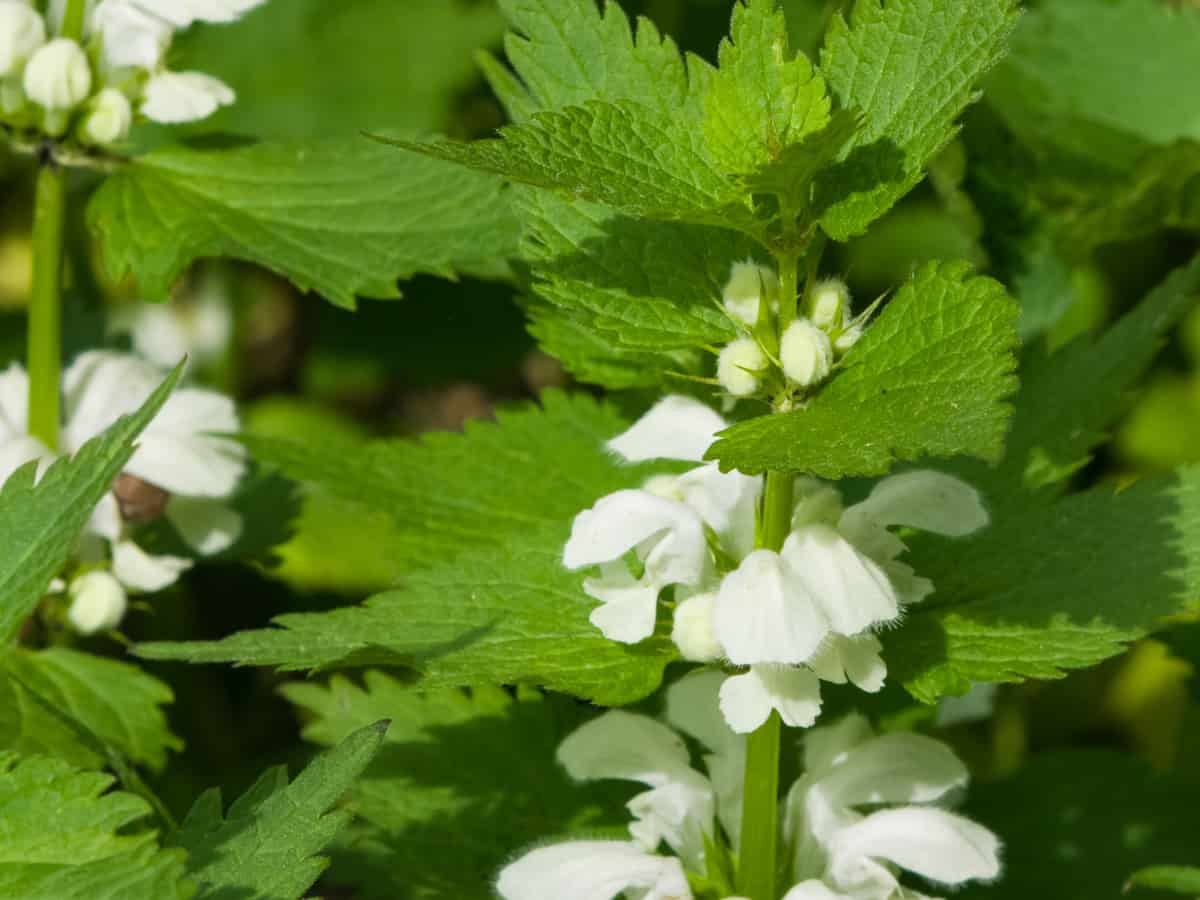 white dead nettle has a long blooming season