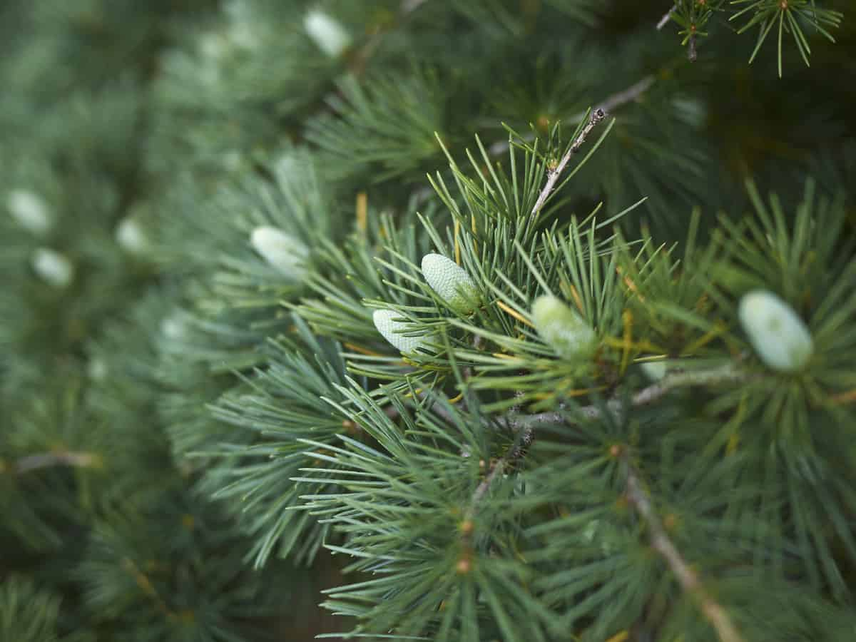 deodar cedar has an aroma that deters insects