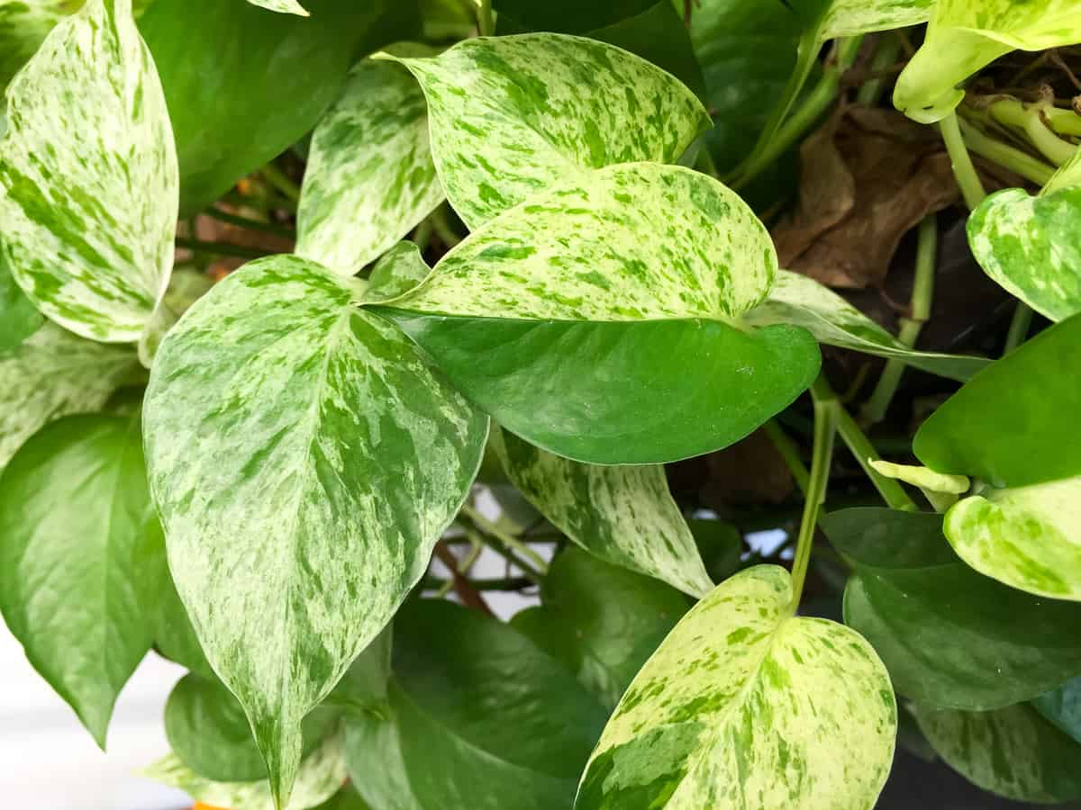 devils ivy is also known as golden pothos