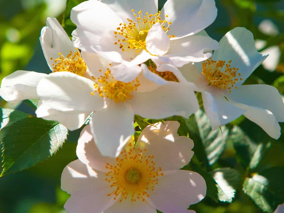 the dog rose or eglantine is well-known throughout the world