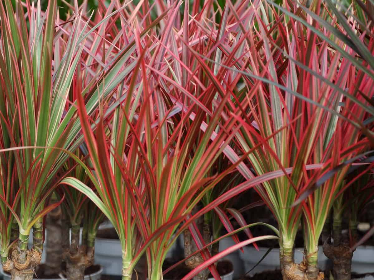 dracaenas easily clean the air at home