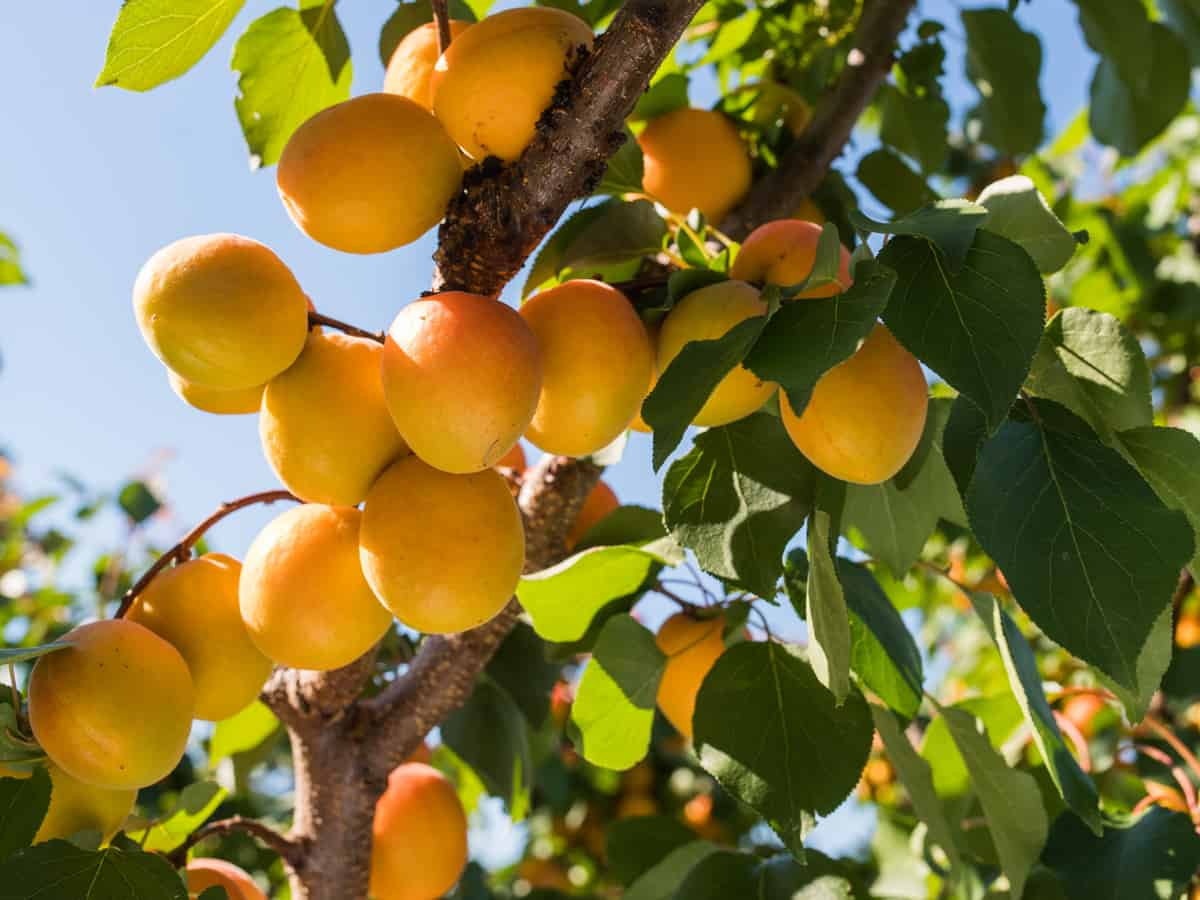 dwarf apricot trees are a yummy addition to a patio orchard