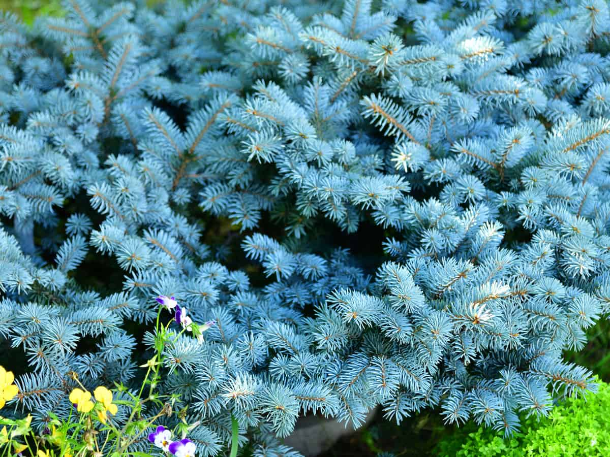 dwarf blue spruce is a small shrub that offers year-round color