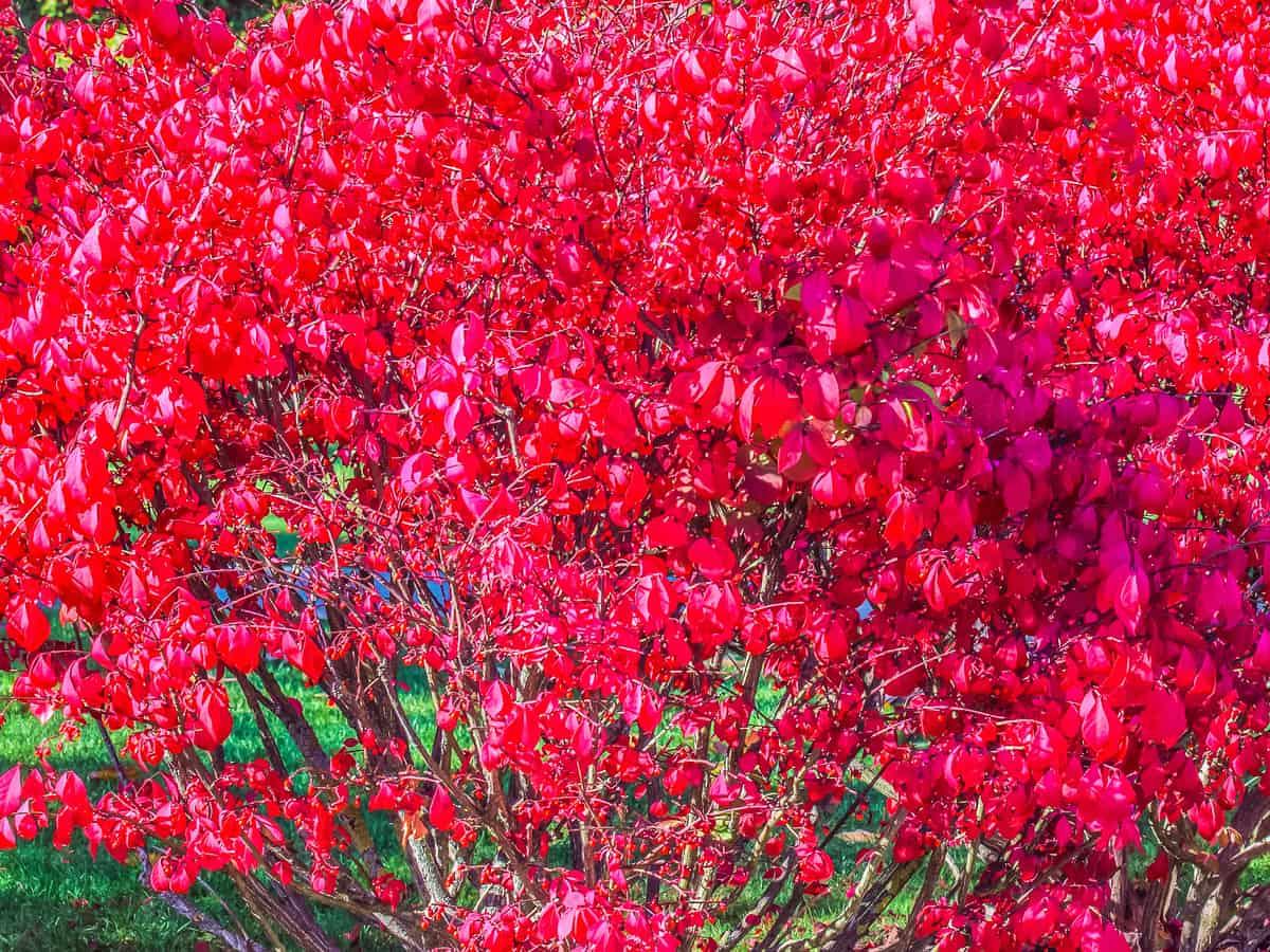 dwarf burning bush is known for its brilliant fall foliage