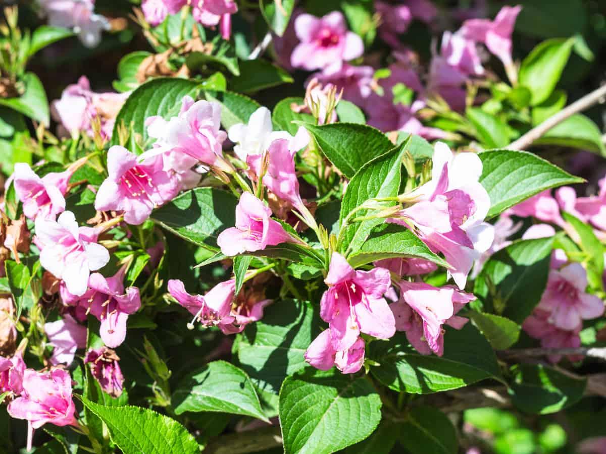 dwarf bush honeysuckle is a deciduous shrub