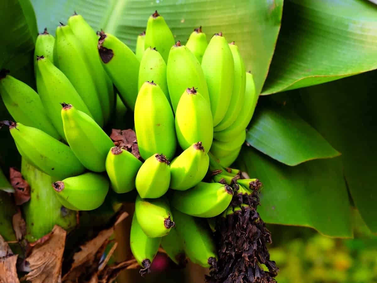 dwarf Cavendish bananas are delicious and easy to grow