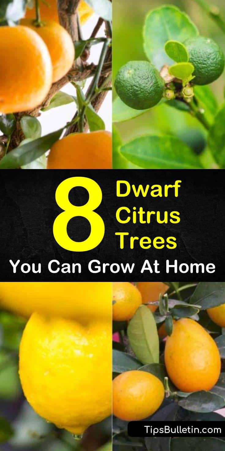 Discover the best dwarf citrus trees to grow in home backyards, indoors in pots, or on the patio. Fill your winter with key limes, mandarin oranges, and lemon fruits as we present you with 8 fantastic dwarf citrus plants and show you how to grow them! #citrustrees #trees #fruittrees #dwarftrees