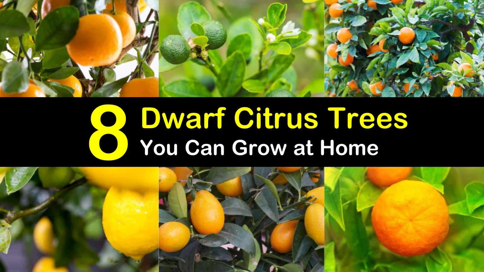 dwarf citrus trees titleimg1