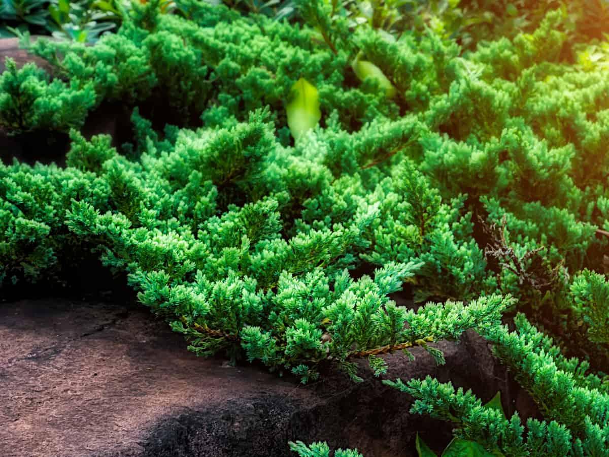 dwarf Japanese garden juniper is a small creeping evergreen shrub
