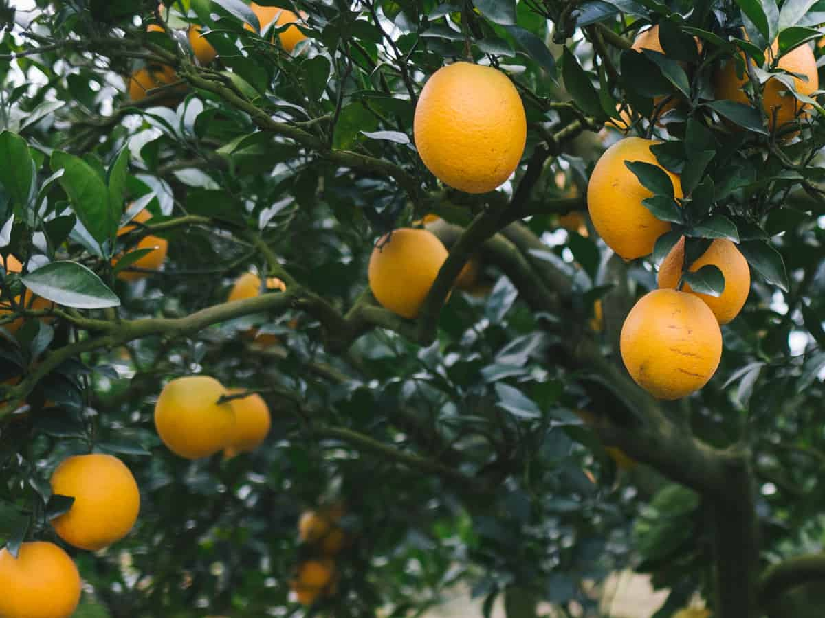 dwarf orange trees can create a mini-orchard on your patio
