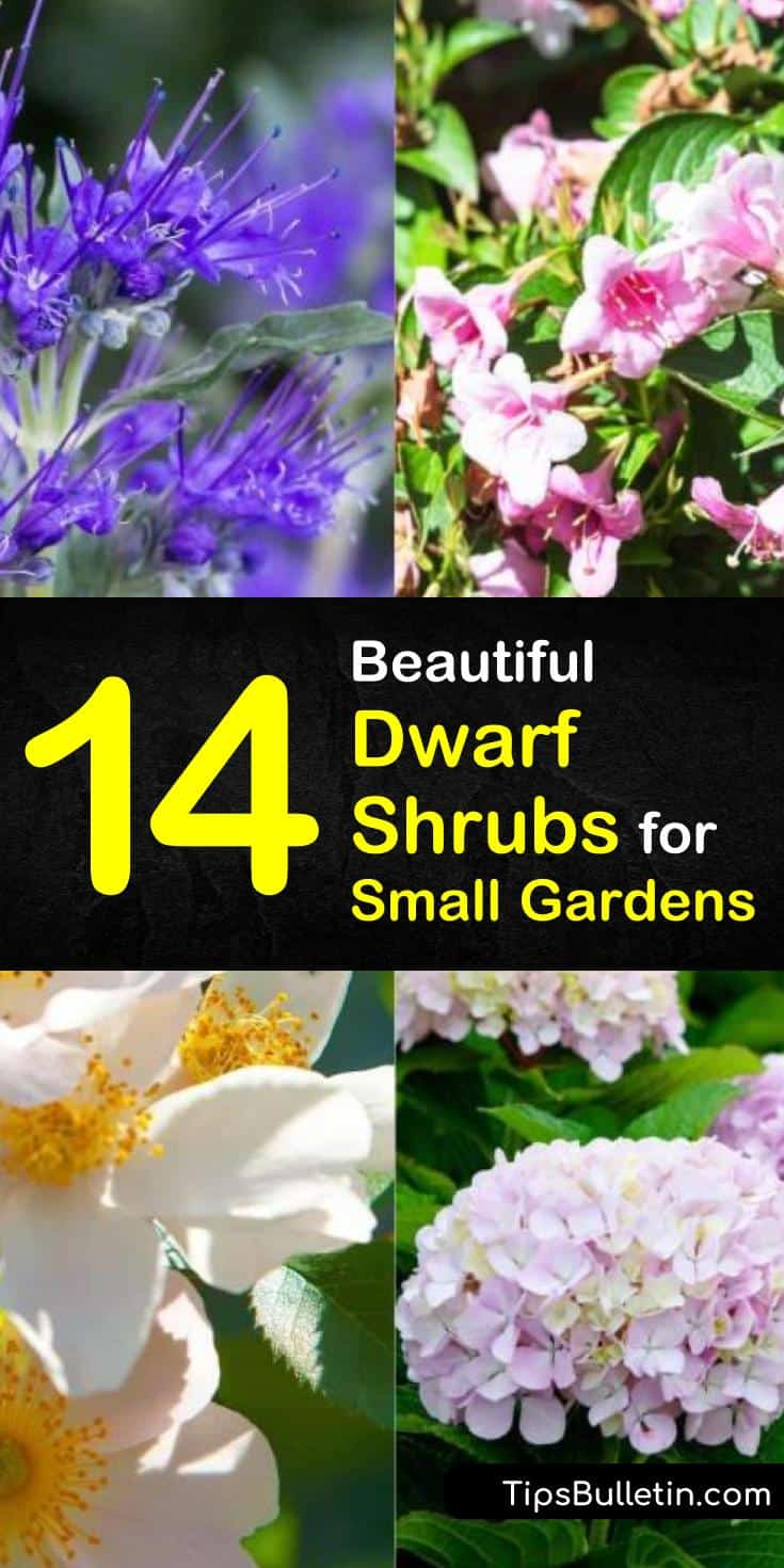Learn how to grow dwarf shrubs in front of house, small yards, and patios. Know which variety of blooming bushes, perennial shrubs, and evergreen plants are drought tolerant. Here are 14 shrubs for shade or garden spots with full sun. #dwarf #shrubs #smallbushes