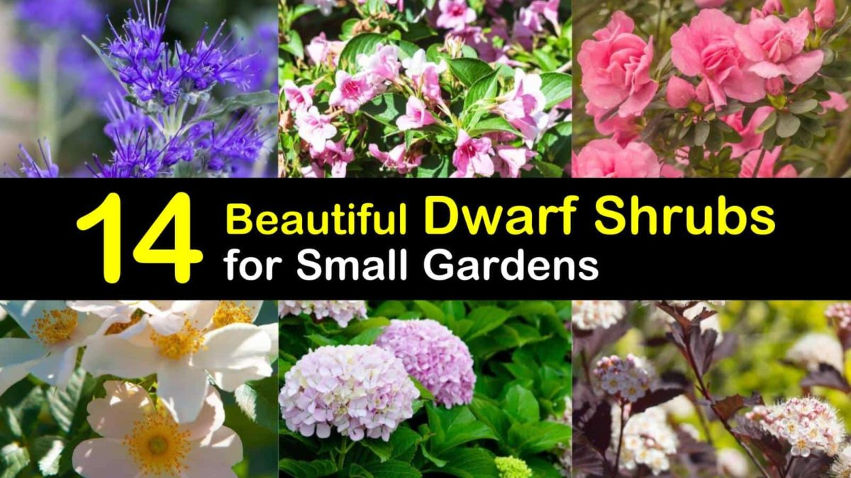 14 Beautiful Dwarf Shrubs For Landscaping Small Gardens