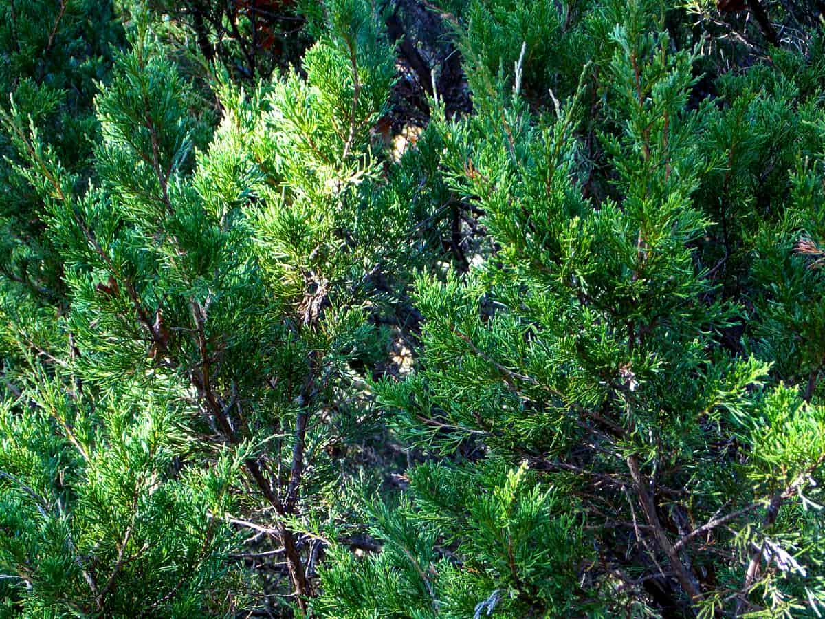 Eastern red cedar is a popular tree