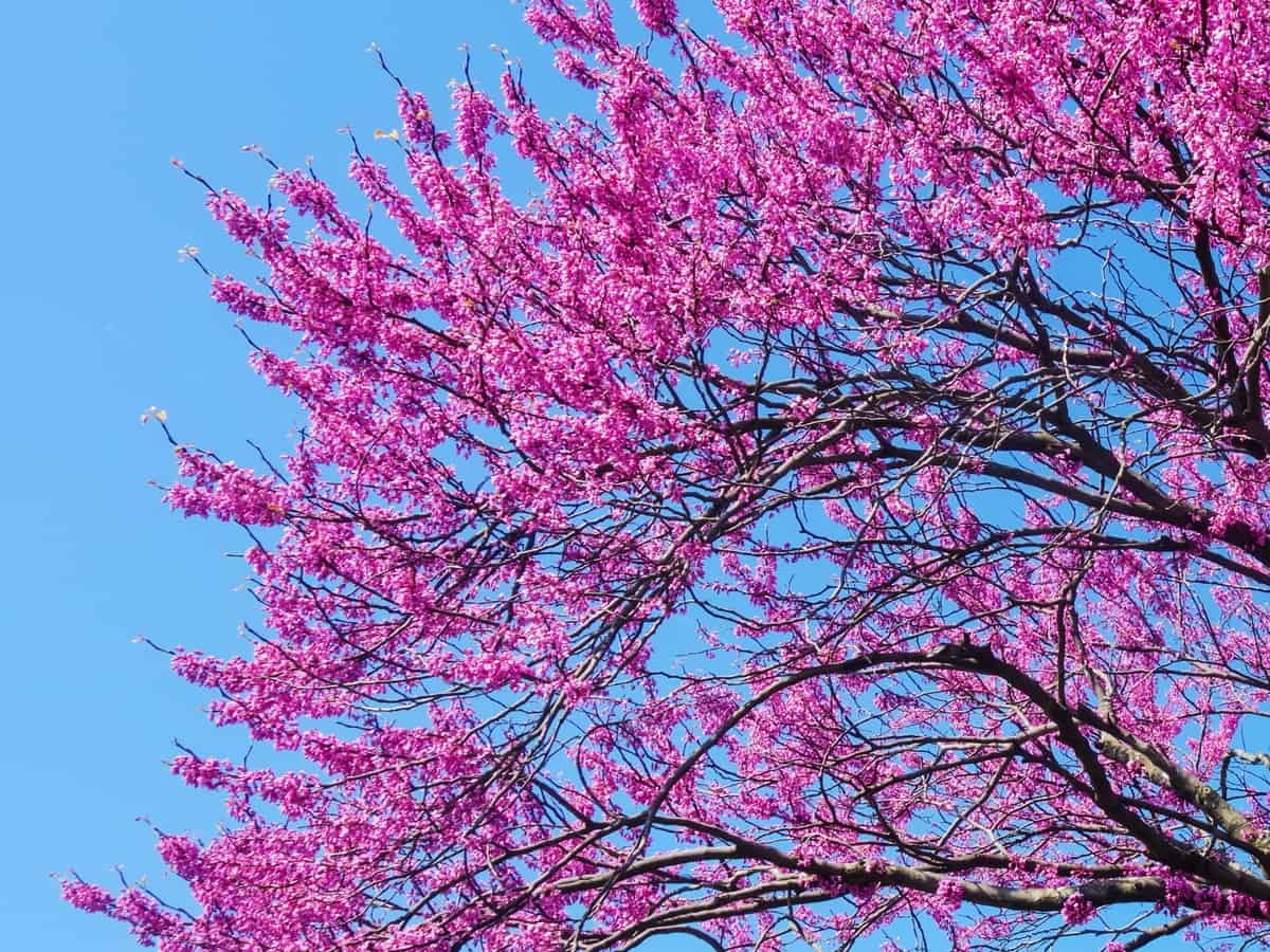 Eastern redbud trees have red buds and purple flowers