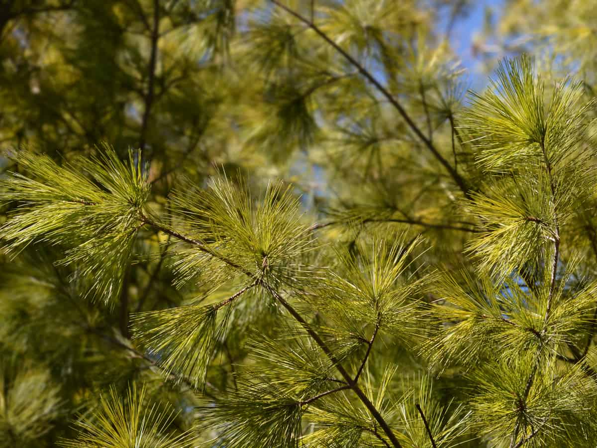 Eastern white pine is a fast growing privacy tree