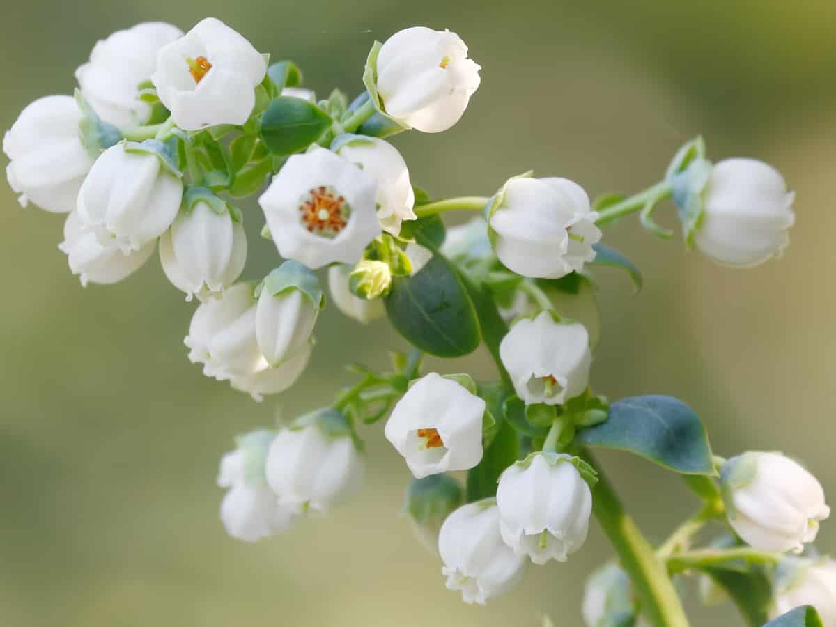 emerald blueberry bush bears white flowers before blueberries