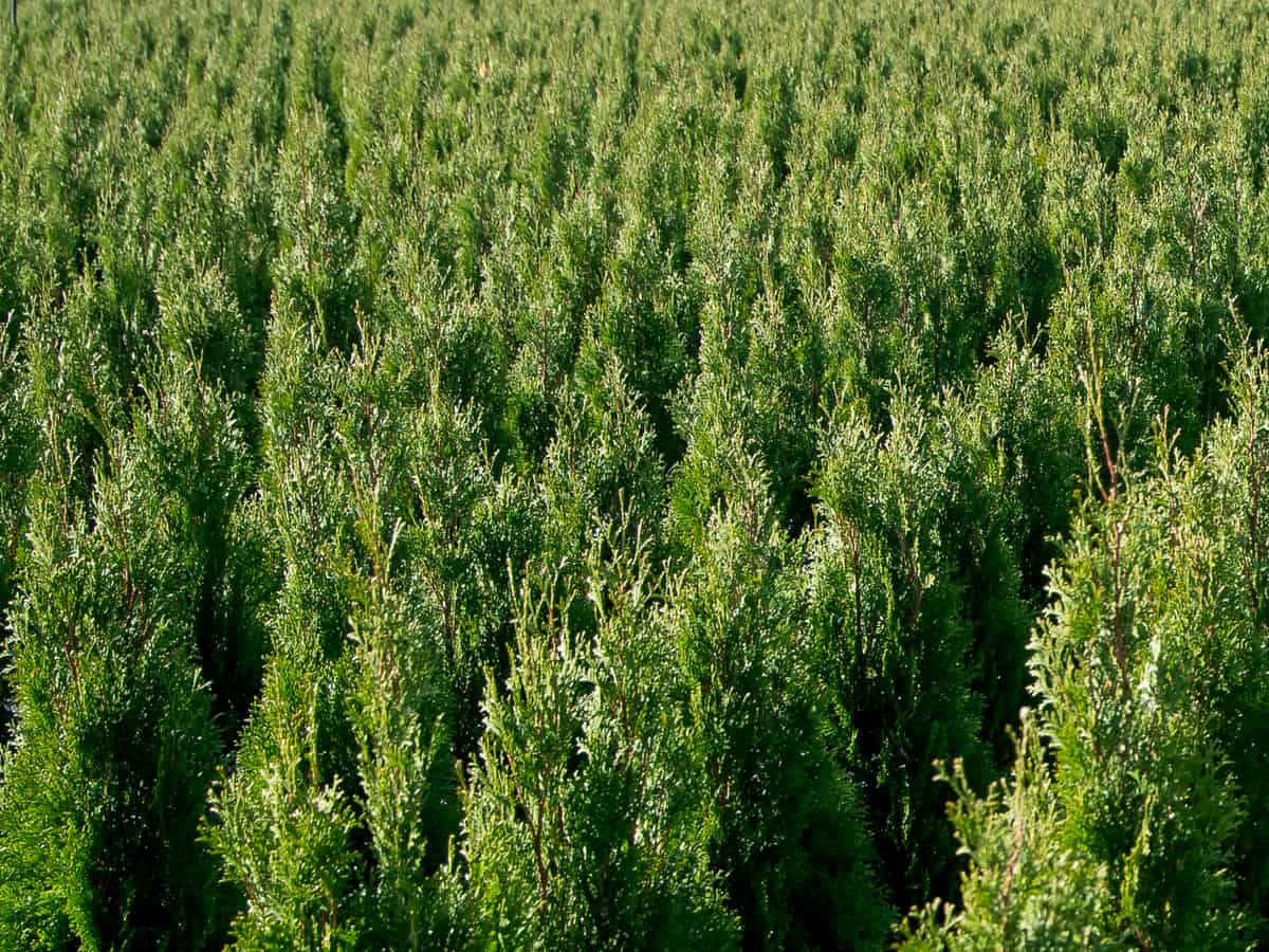 emerald green arborvitae grows 8-12 feet tall
