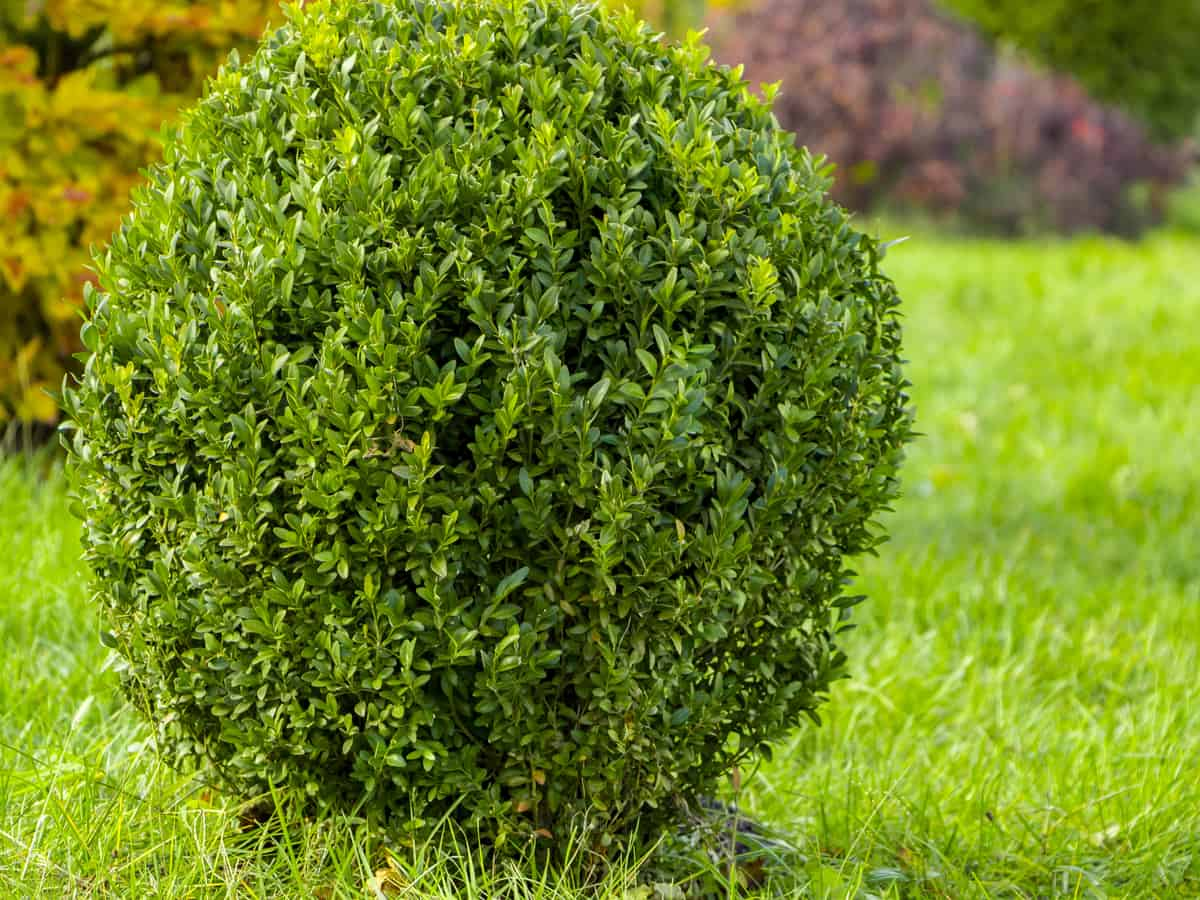 English boxwood is an evergreen that deer don't like