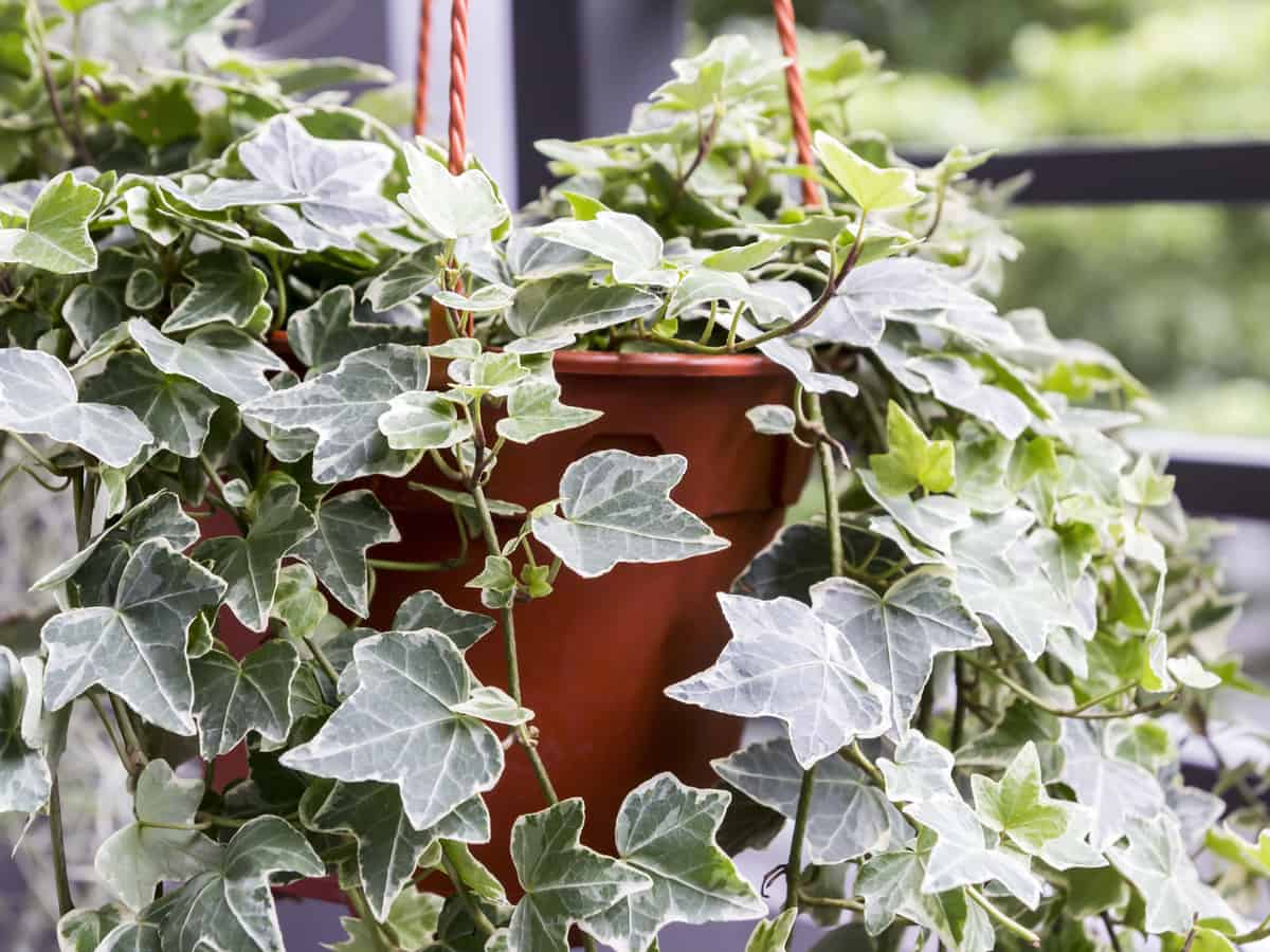 English ivy is the perfect hanging plant for light-starved rooms