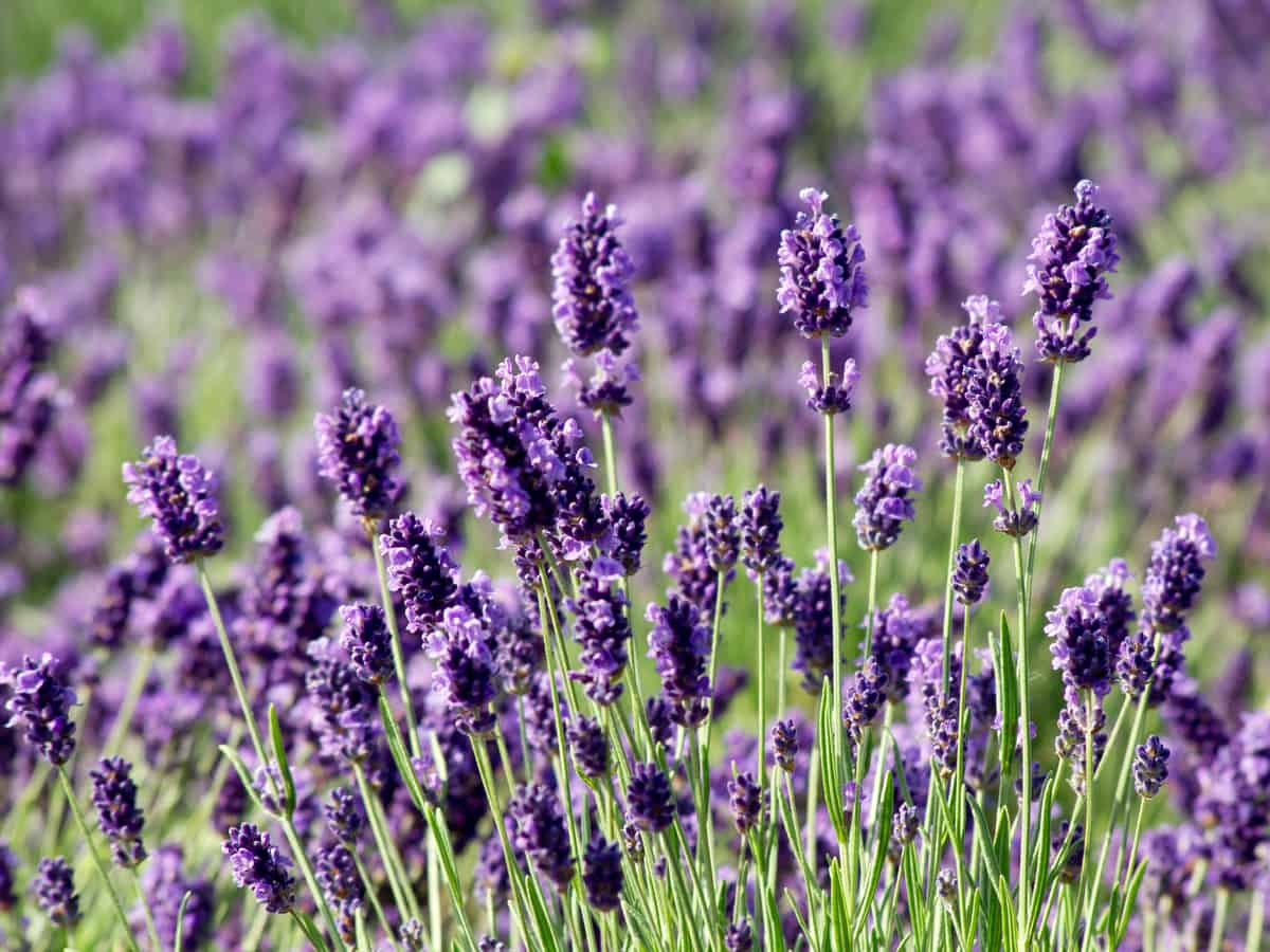 English lavender is a perennial plant that needs full sun