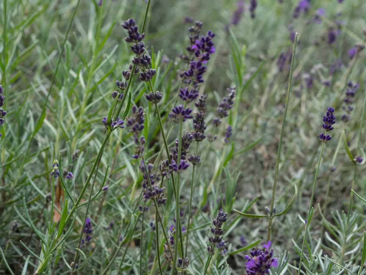 English lavender is a herbaceous perennial