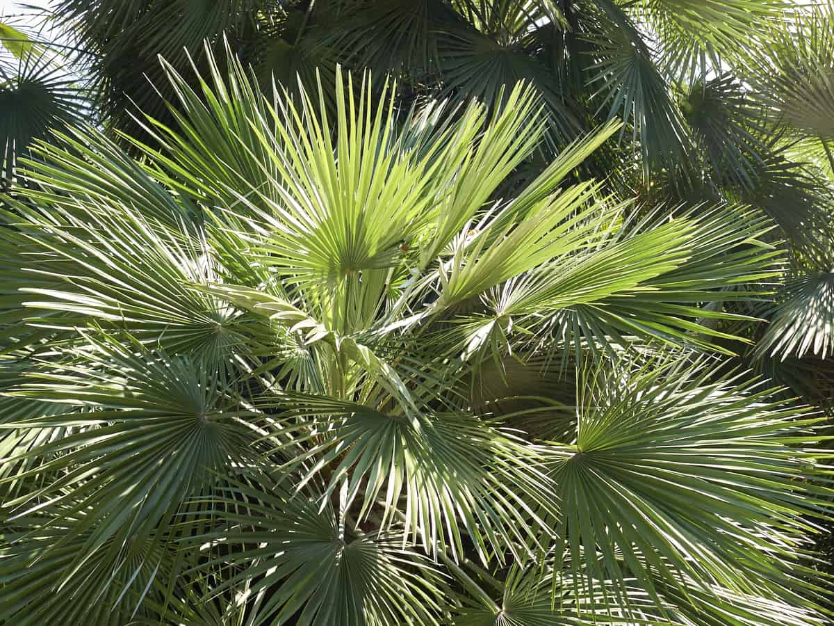 European fan palm is an elegant indoor plant